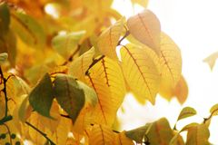 Autumn yellow leaves background in sunny day. Nature Stock Photography