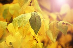 Autumn yellow leaves background in sunny day. Nature Stock Photo
