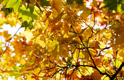 Autumn. Yellow leaves Royalty Free Stock Images
