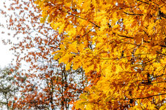 Autumn yellow leaves blurred background of trees. Autumn background. yellow oak leaves on a blurred background of trees Stock Photography