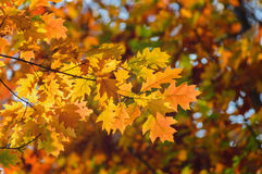 Autumn yellow leaves blurred background of trees. Autumn background. yellow oak leaves on a blurred background of trees Royalty Free Stock Photo