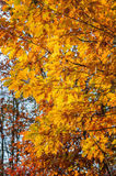 Autumn yellow leaves blurred background of trees. Autumn background. yellow oak leaves on a blurred background of trees Royalty Free Stock Photography