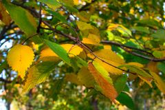 Autumn yellow leaves on a branch of a tree Stock Photo