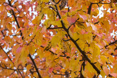 Autumn yellow leaves on branches. Of apple tree Royalty Free Stock Images