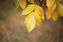 Autumn Yellow Leaves caduto sulla terra Fotografia Stock