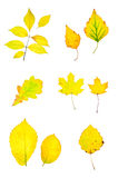Autumn yellow leaves collection Royalty Free Stock Image
