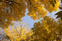 Autumn. Yellow leaves covering autumn bright sky Royalty Free Stock Image