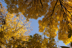 Autumn. Yellow leaves covering autumn bright sky Stock Photography