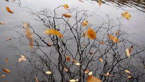 Autumn Yellow Leaves Fall Into vattnet arkivfilmer