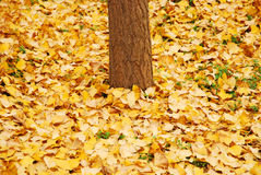 Autumn, yellow leaves. In autumn, the leaves of the ginkgo tree were yellow and the yellow leaves fell Royalty Free Stock Images