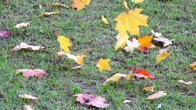 Autumn yellow leaves on green grass in park blowing on wind, autumnal sunlight foliage ground, color background in. October stock video footage