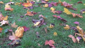 Autumn yellow leaves on green grass in park blowing on wind, autumnal sunlight foliage ground, color background in. October stock video