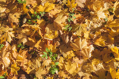 Autumn yellow leaves on green grass. Sunny day in autumn forest Royalty Free Stock Images