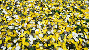 Autumn yellow leaves on the ground. Yellow leaves on the ground Stock Photos