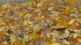 Autumn yellow leaves lie on ground background. Autumn  yellow leaves lie on ground background stock footage