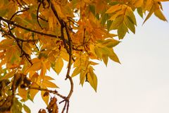 Autumn yellow leaves of a lime on white background royalty free stock image