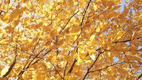 Autumn. Yellow leaves of a linden. Autumn. Yellow leaves of linden tree on a sunny day stock footage