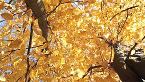 Autumn. Yellow leaves of a linden. Autumn. Yellow leaves of linden tree on a sunny day stock video footage