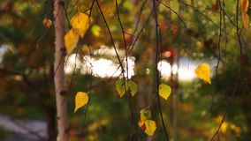 Autumn yellow leaves motion background stock video