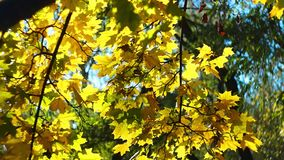 Autumn yellow leaves motion background stock video footage