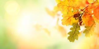 Free Autumn Yellow Leaves  Of Oak Tree In Autumn Park. Royalty Free Stock Photo - 156475605