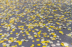 Autumn Yellow Leaves Stock Images