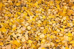 Autumn yellow leaves in the royalty free stock photos