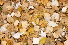 Autumn yellow leaves in the stock image