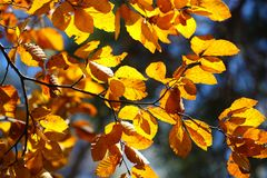 Autumn yellow leaves of poplar against blue sky Stock Photography
