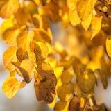 Autumn yellow leaves of poplar Stock Photography