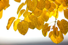 Autumn yellow leaves of poplar Stock Images