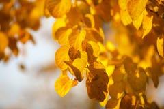 Autumn yellow leaves of poplar Royalty Free Stock Image