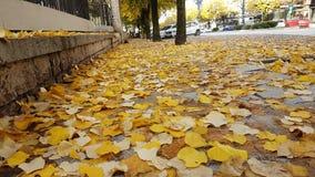 Autumn yellow leaves road poplar Royalty Free Stock Image