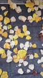 Autumn yellow leaves road poplar Royalty Free Stock Images