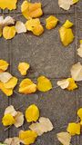 Autumn yellow leaves road poplar tree. Many Stock Images