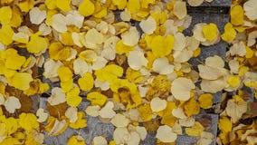 Autumn yellow leaves road poplar tree. New Stock Photos