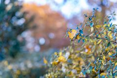 Autumn yellow leaves on a shrub in the park. Nature beautiful blurred background and bokeh. Soft focus. Toned image. Copy space. royalty free stock images
