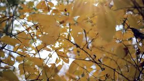 Autumn yellow leaves with the sky background. HD. 1920x1080 stock footage