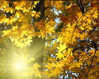 Autumn yellow leaves and sun. Shining Royalty Free Stock Photos