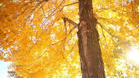 Autumn yellow leaves, sun shining through the autumn leaves stock video footage