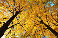 Autumn yellow leaves on top of trees Stock Photography