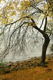 Autumn yellow leaves on a tree Stock Photography