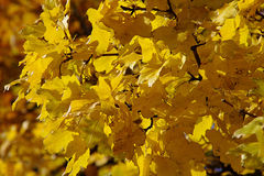 Autumn  yellow leaves. Yellow autumn leaves on a tree Stock Image
