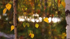 Autumn yellow leaves on the trees motion background stock video footage