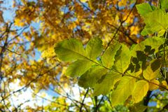 Autumn yellow leaves on the trees in sunny day. Seasonal photo Stock Photography