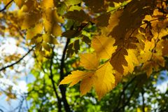 Autumn yellow leaves on the trees in sunny day. Seasonal photo Royalty Free Stock Images