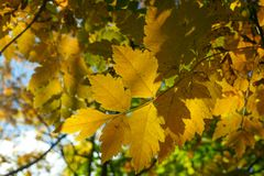 Autumn yellow leaves on the trees in sunny day. Seasonal photo Royalty Free Stock Image