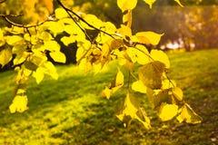 Autumn yellow aspen leaves stock photos
