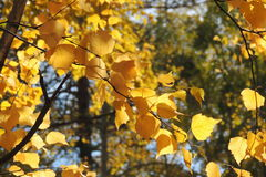 Autumn yellow leaves and twigs, seasons: autumn Royalty Free Stock Photography