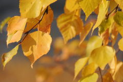 Autumn yellow leaves and twigs, seasons: autumn Stock Images